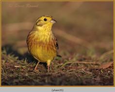 yellowhammer-35.jpg