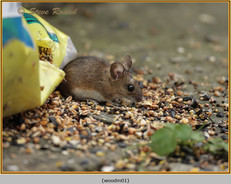 wood-mouse-01.jpg