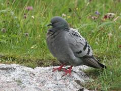 rock-dove-01(14-8-06).jpg