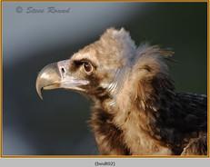 black-vulture-02c.jpg