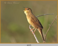 grasshopper-warbler-36.jpg