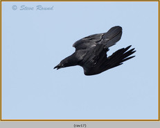 raven-17.jpg