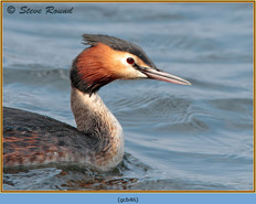 great-crested-grebe-46.jpg
