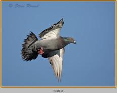 feral-pigeon-19.jpg