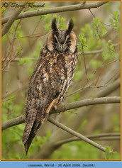 long-eared-owl-04.jpg