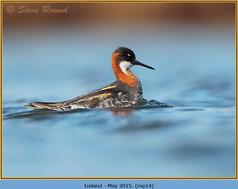 red-necked-phalarope-14.jpg