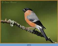 bullfinch-59.jpg