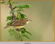 sedge-warbler-25.jpg
