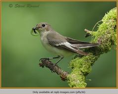 pied-flycatcher-36.jpg