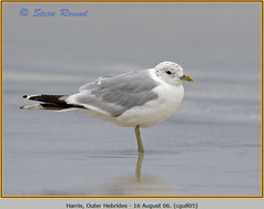 common-gull-05.jpg