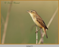 sedge-warbler-27.jpg