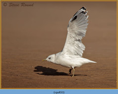 common-gull-33.jpg