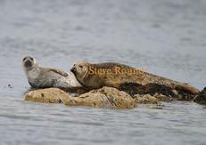 common-seal-05.jpg