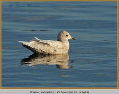 iceland-gull-14.jpg