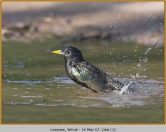 starling-11.jpg