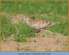 turtle-dove-04.jpg