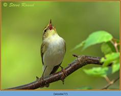 wood-warbler-77.jpg