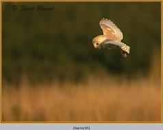 barn-owl-36.jpg