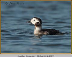 long-tailed-duck-22.jpg