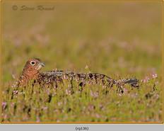red-grouse-136.jpg