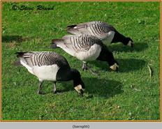 barnacle-goose-06.jpg
