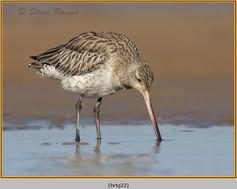 bar-tailed-godwit-22.jpg