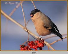 bullfinch-47.jpg