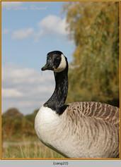 canada-goose-23.jpg
