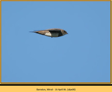 alpine-swift-08.jpg