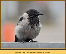 hooded-crow-01.jpg