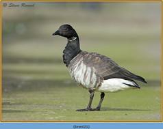 brent-goose-21.jpg