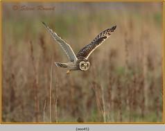 short-eared-owl-45.jpg