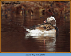 long-tailed-duck-48.jpg