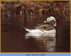 long-tailed-duck-48.jpg
