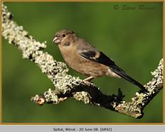 bullfinch-42.jpg