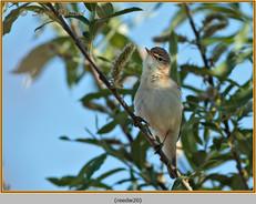 reed-warbler-20.jpg