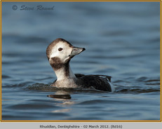 long-tailed-duck-16.jpg