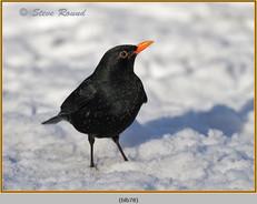 blackbird-78.jpg