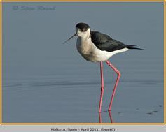 black-winged-stilt-40.jpg