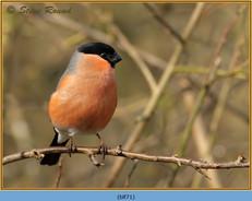 bullfinch-71.jpg