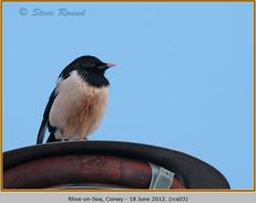 rose-coloured-starling-03.jpg