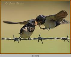swallow-37.jpg