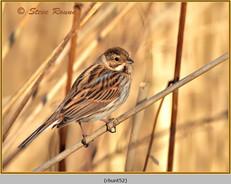 reed-bunting-52.jpg