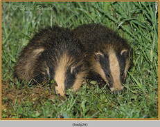 badger-24.jpg