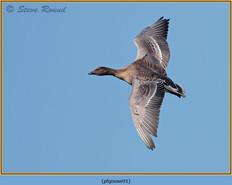 pink-footed-goose-91.jpg
