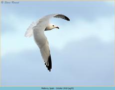 audouin's-gull-29.jpg
