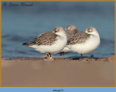 sanderling-67.jpg