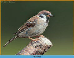 tree-sparrow-45.jpg