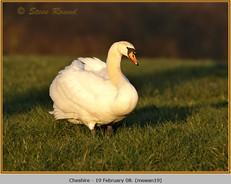 mute-swan-19.jpg