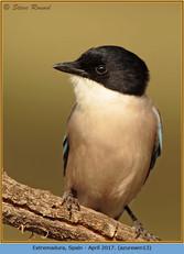 azure-winged-magpie-13.jpg